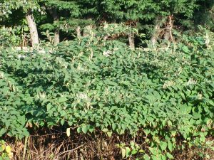 Japanese Knotweed Facts – it's origin, the law & eating it!