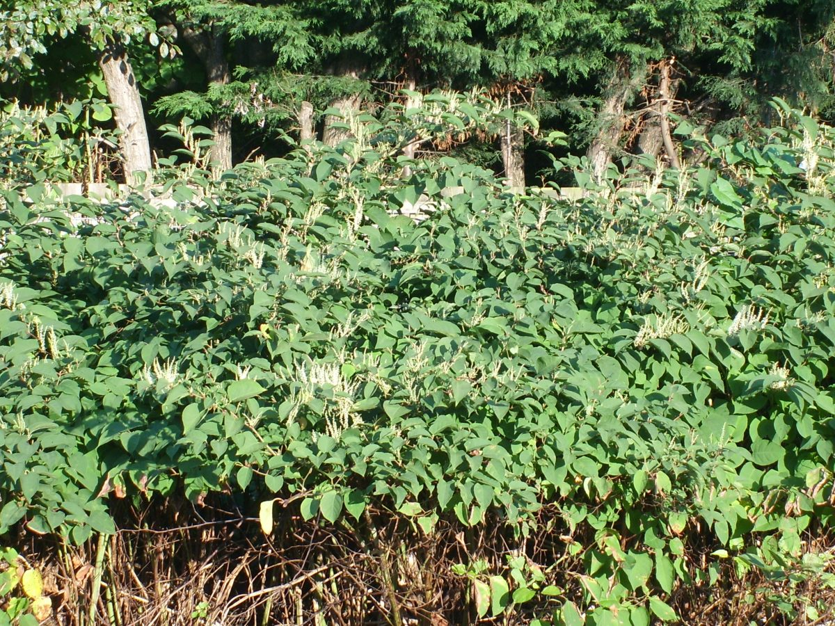 japanese-knotweed
