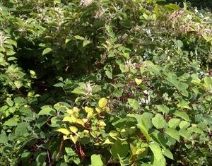 Weed Identification - Kill Japanese Knotweed