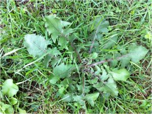 Lawn Weeds – It's Spring & they're growing! How do I get rid of them?