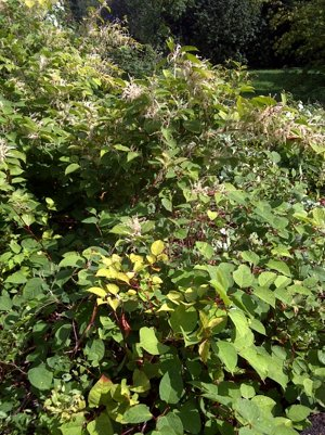 Japenese Knotweed control and removal