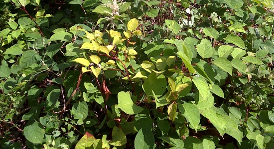 japanese knotweed legislation and control UK