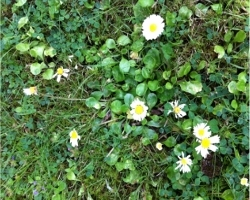 Daisies in garden lawn care tips