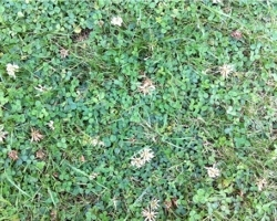 white clover weed identification