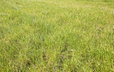 Coarse Grass in Lawn