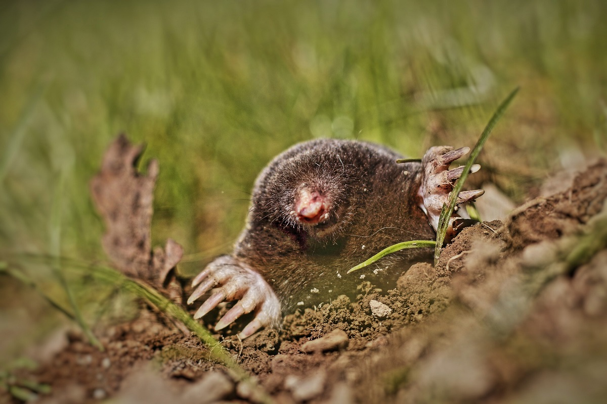 lawn pests identification and treatment UK Moles