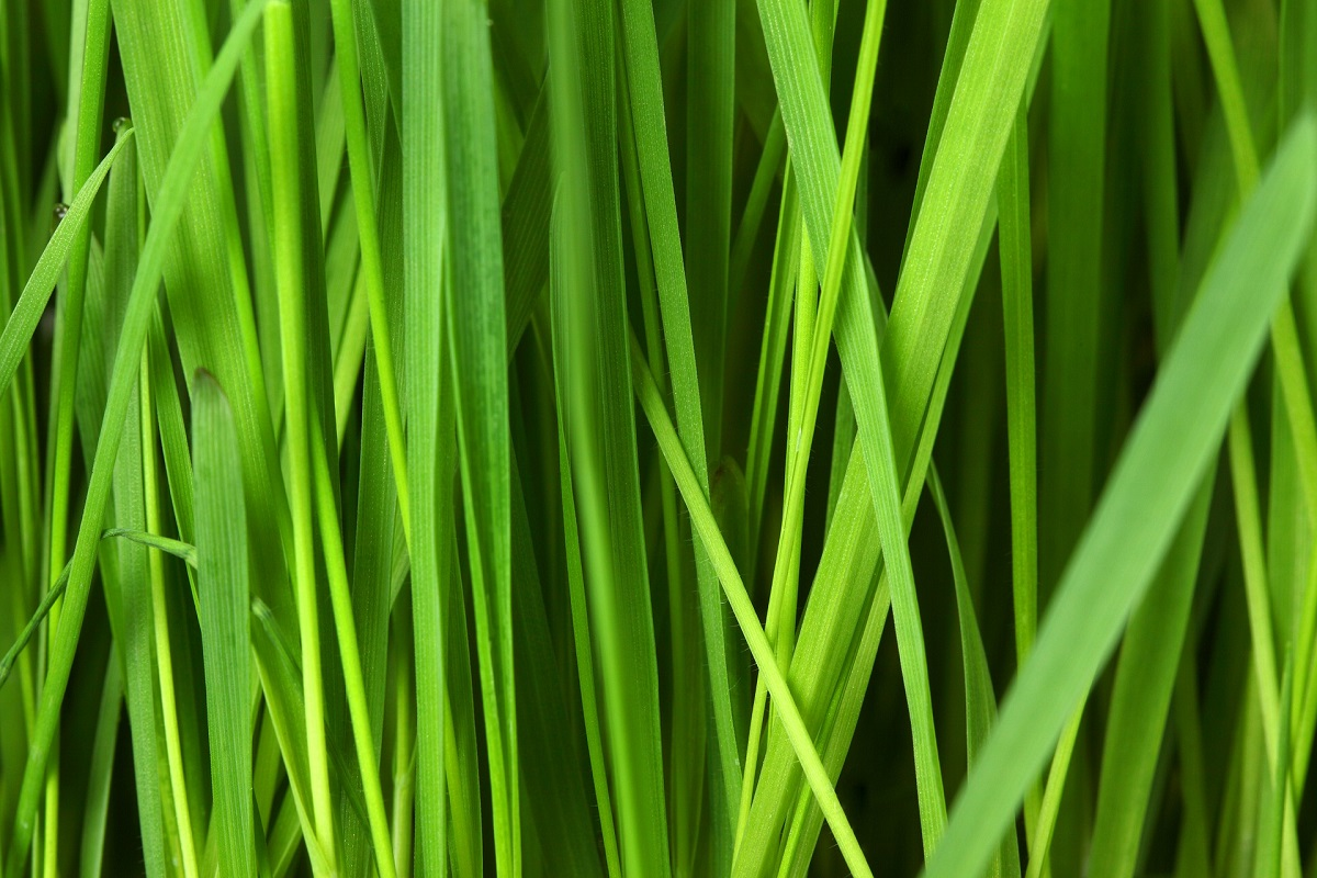 types of grass weed and lawn grass identification
