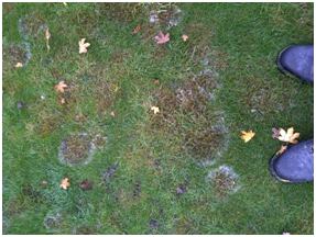 lawn disease identification and control
