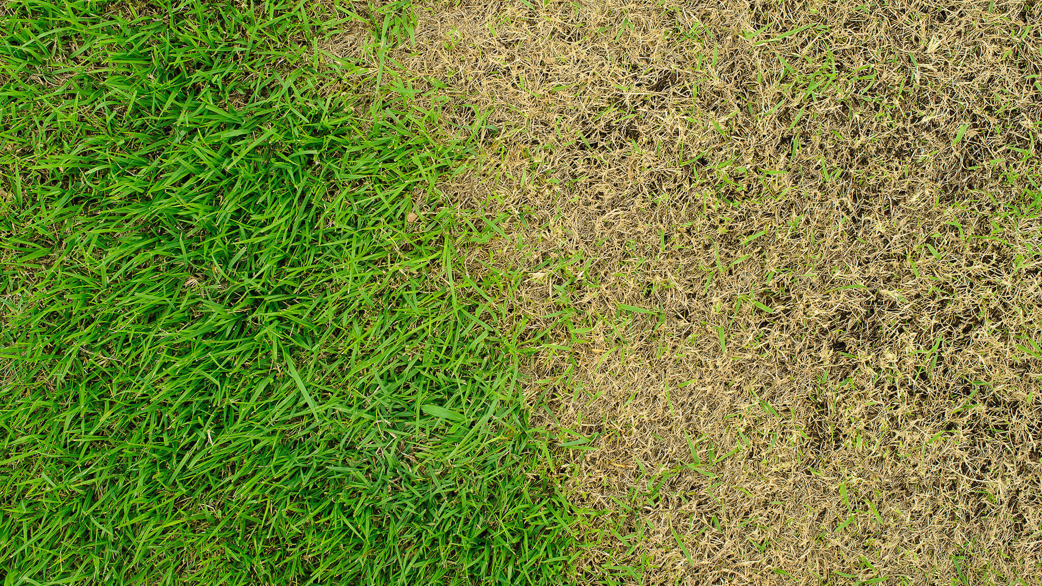 Lawn disease - identification and treatment Bedfordshire, Essex, Herts