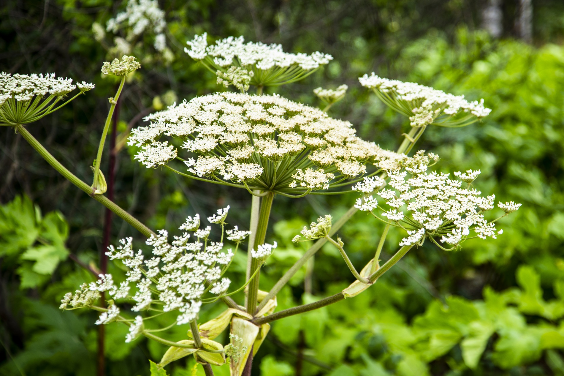 Hogweed weed control Essex, Hertfordshire and Bedfordshire
